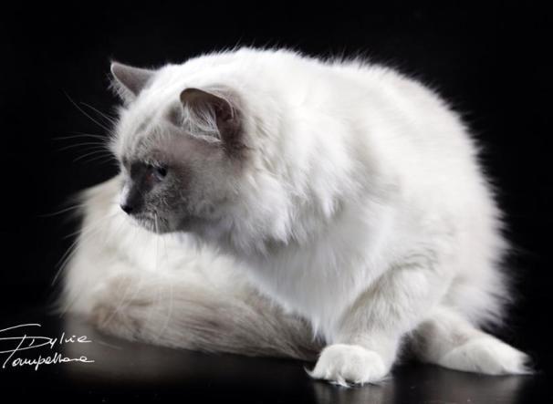 Piccolo Allevamento Amatoriale Di Gatti Ragdoll Sono Mici Stupendi